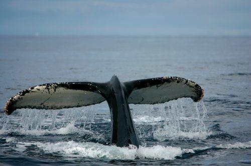 Ballena jorobada muestra su cola mientras se alimentan cerca del borde del hielo antártico en el Océano Austral.