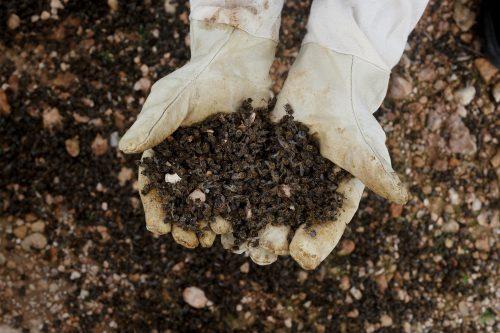 Un apicultor sujeta un puñado de abejas muertas