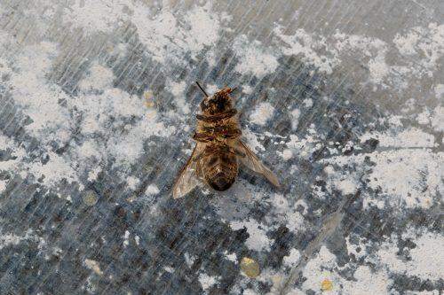 Una abeja muerta en Mazarrón, Murcia
