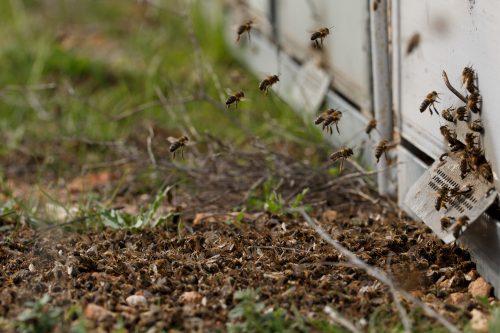 Abejas mueren al volver a la colmena en Mazarrón, Murcia