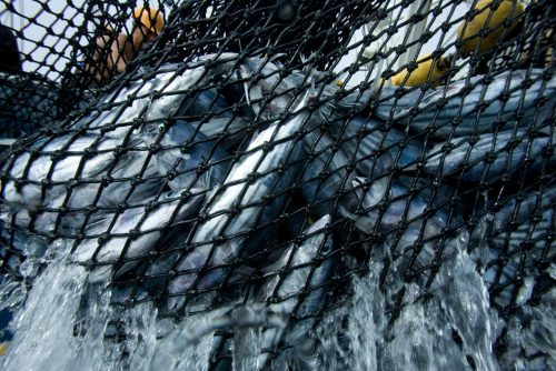 Atunes atrapados en una red de pesca de un cerquero colombiano