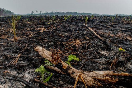 Bosques quemados para cultivar aceite de palma