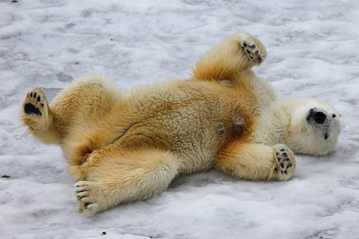 Un oso polar acostado sobre el hielo