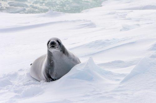 Una foca leopardo descansa sobre el hielo en el Océano Antártico