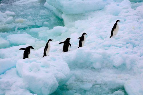 Un grupo de pingüinos adelaida caminan sobre el hielo en la Antártida