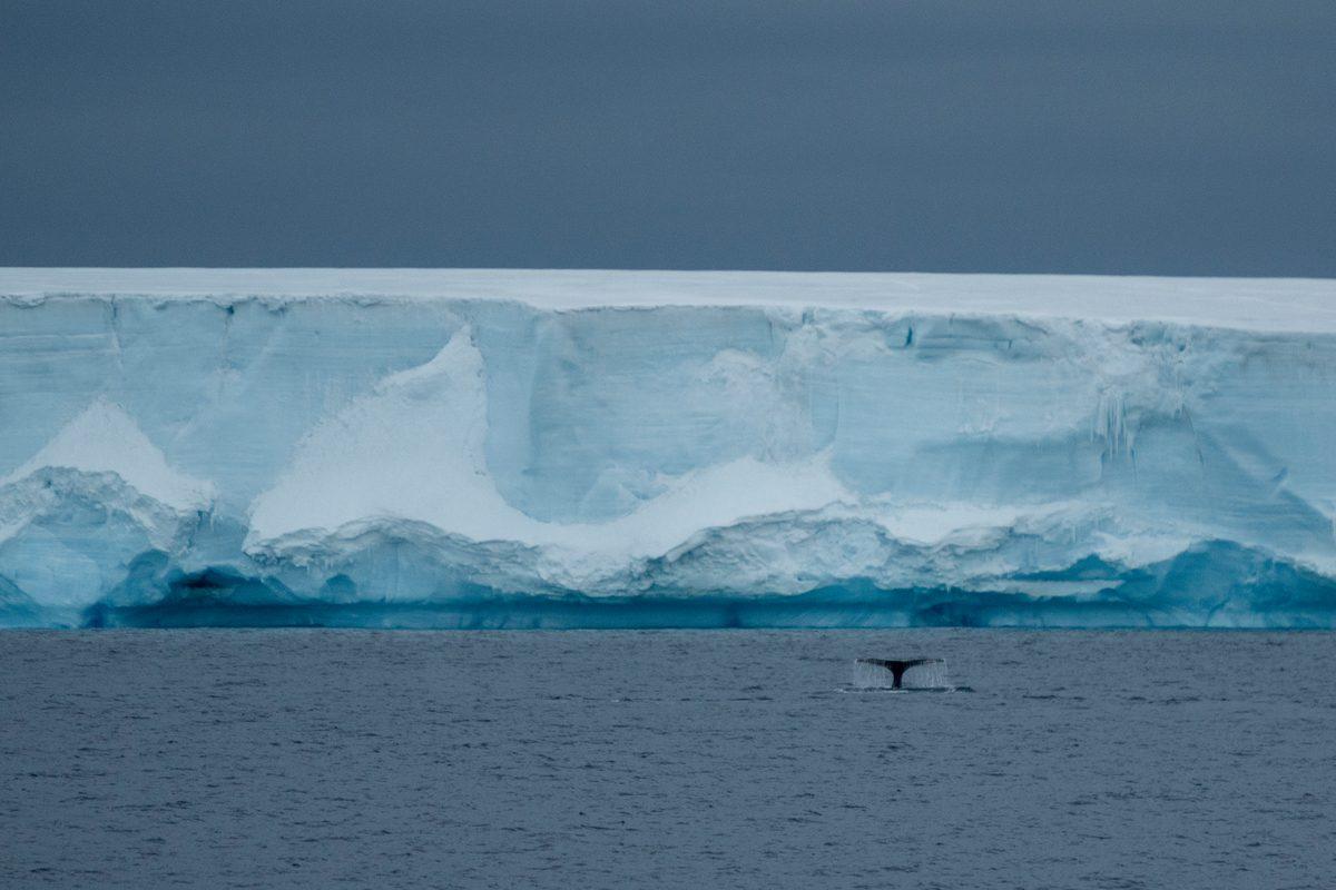 Ballena jorobada en el océano Antártico