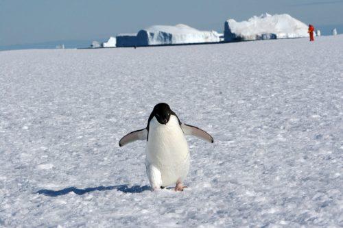 Un pingüino adelaida camina sobre el hielo en la Antártida