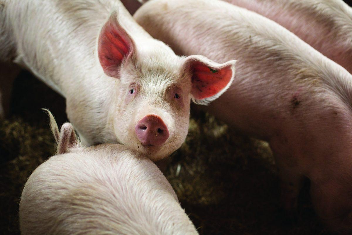 Imagen de una granja de cerdos en Baja Sajonia, Alemania