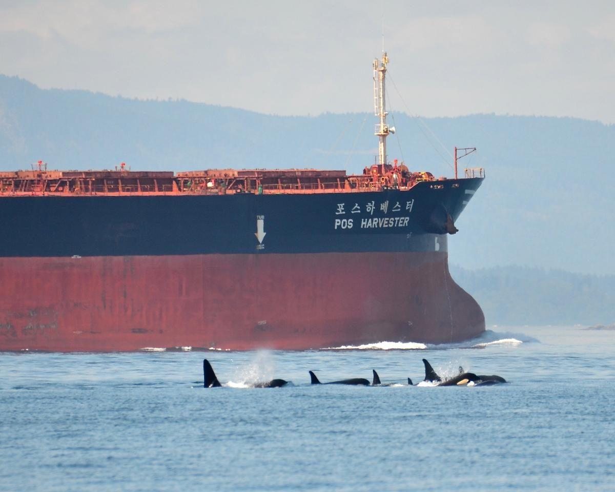 Un petrolero navega junto a varios cetáceos en el estrecho de Juan de Fuca, en la costa noroeste de Estados Unidos