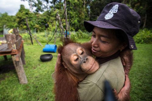 Orangután en un refugio en Indonesia