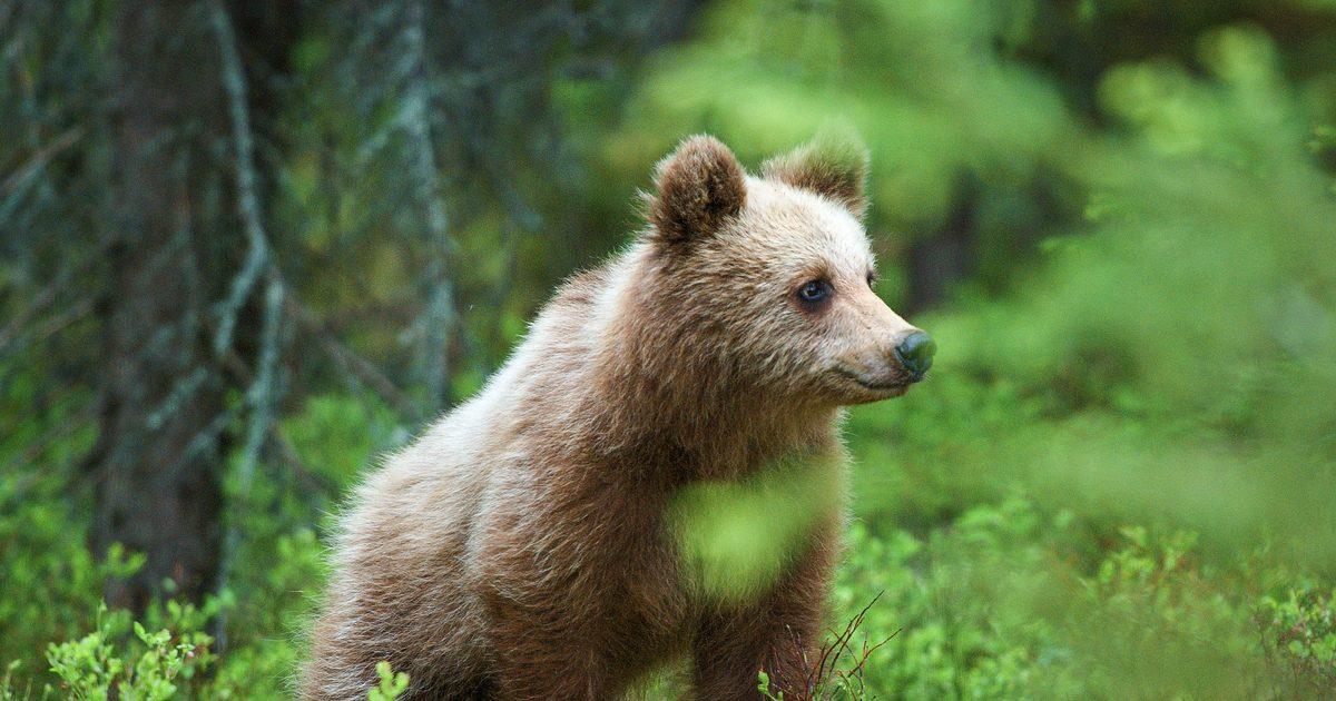 Salva el Gran Bosque Boreal