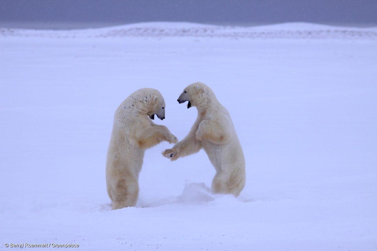 Dos osos polares se enfrentan en el hielo en la Bahía de Hudson en 2008.