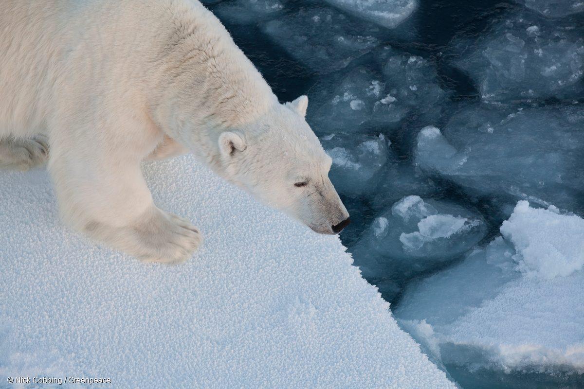 Un oso polar adulto que se acercó al Arctic Sunrise es fotografiado en el hielo al oeste de Svalbard en 2011