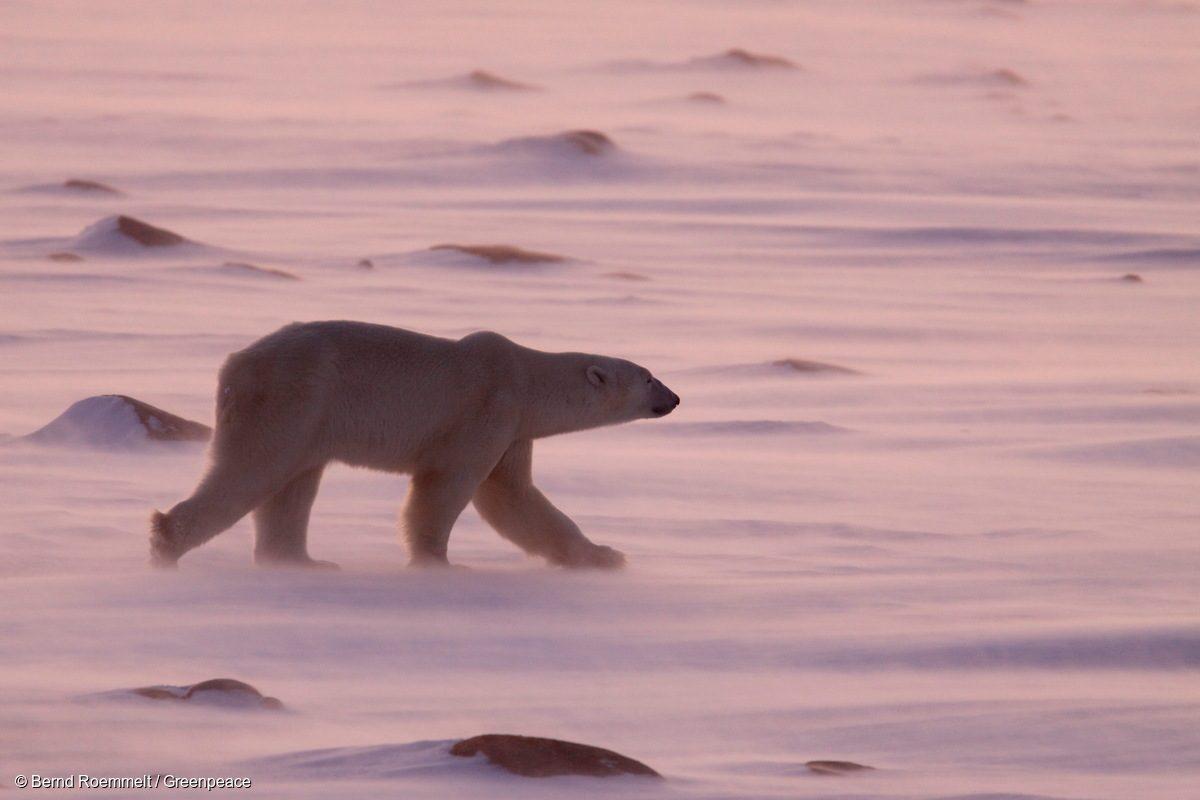 Un oso polar vaga en el hielo en la bahía de Hudson en 2008