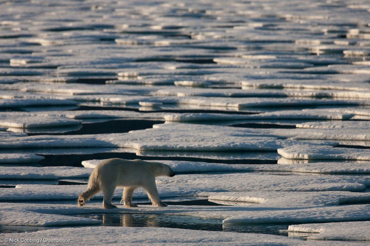 En 2009, un oso polar vaga por el hielo marino a la deriva en la Cuenca de Kane