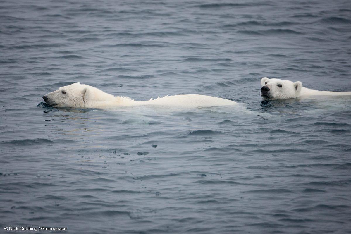 Osos polares vistos desde la cubierta del Arctic Sunrise