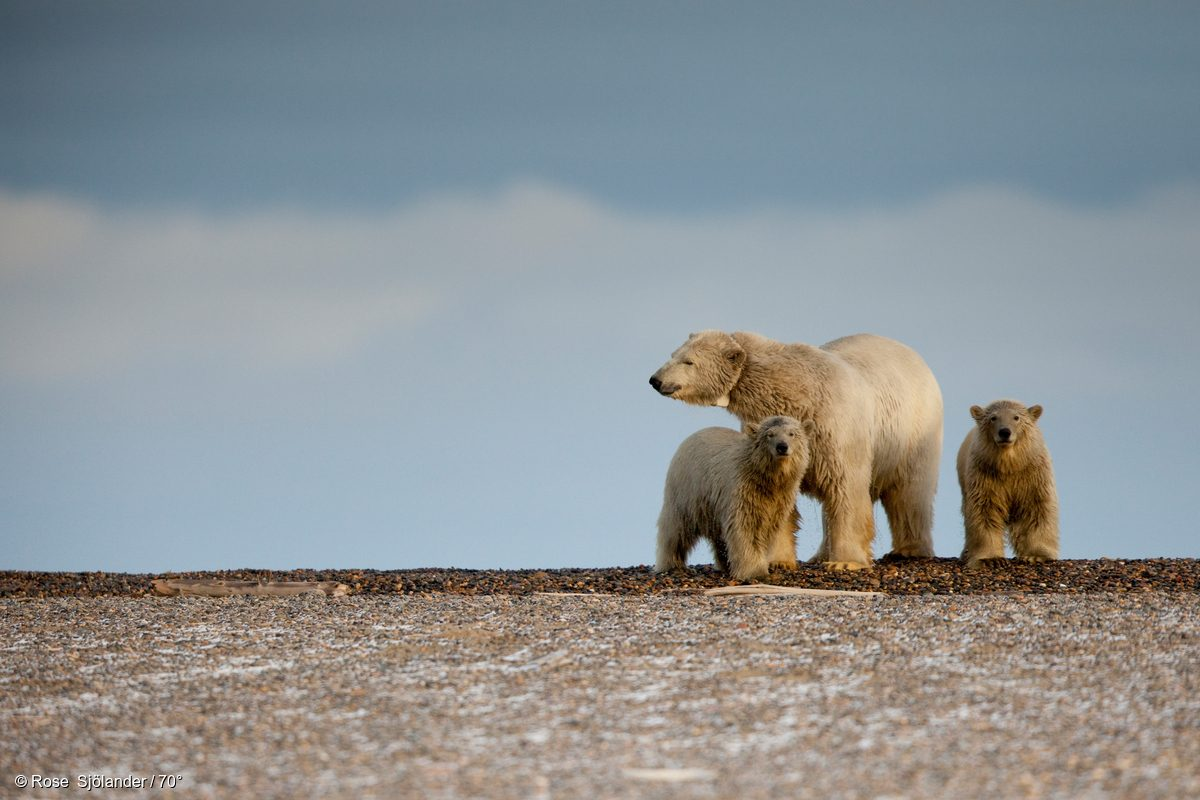 Una madre oso polar atrapada en tierra junto a sus dos crías