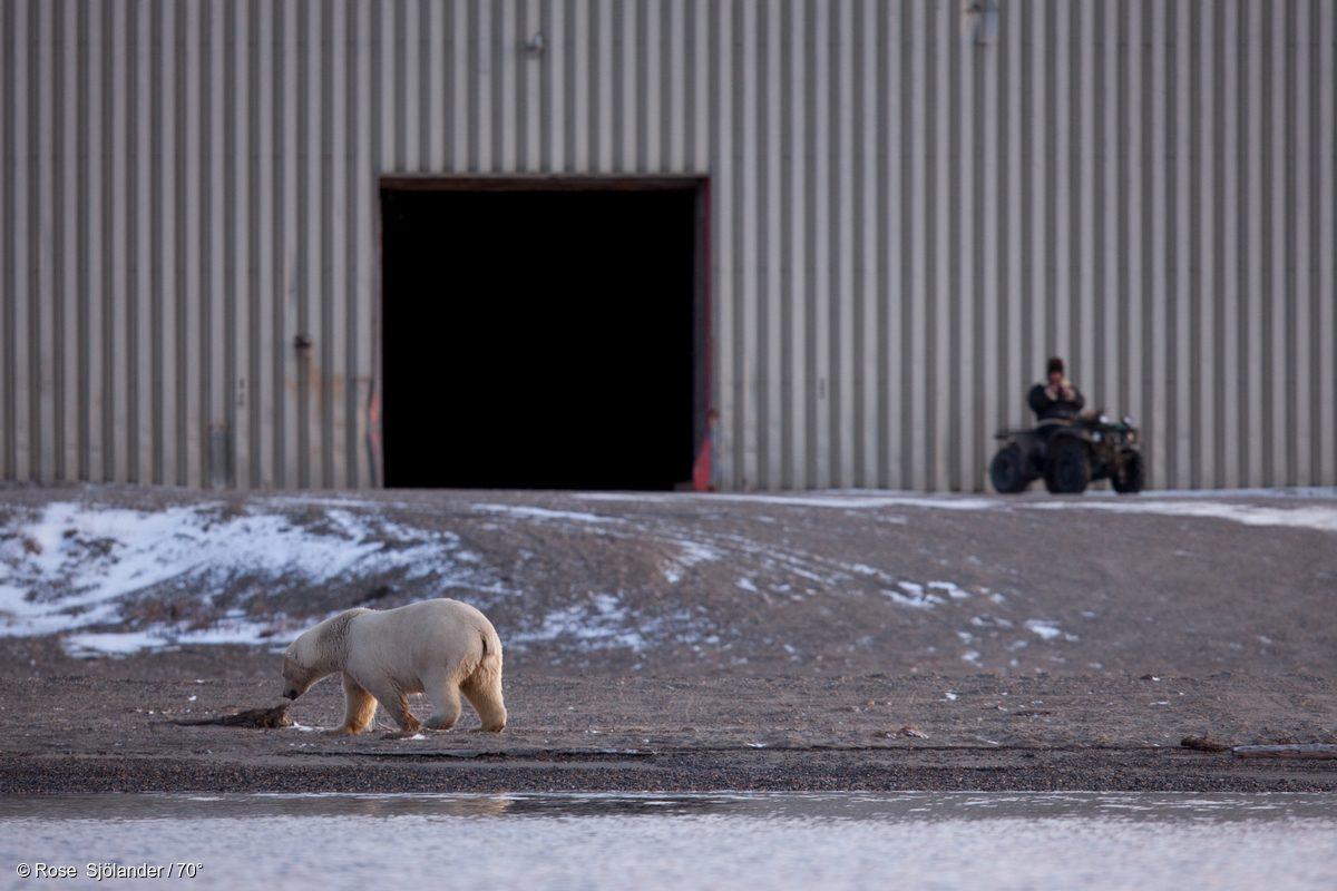 Un hombre vigila cómo un oso polar llega a la costa