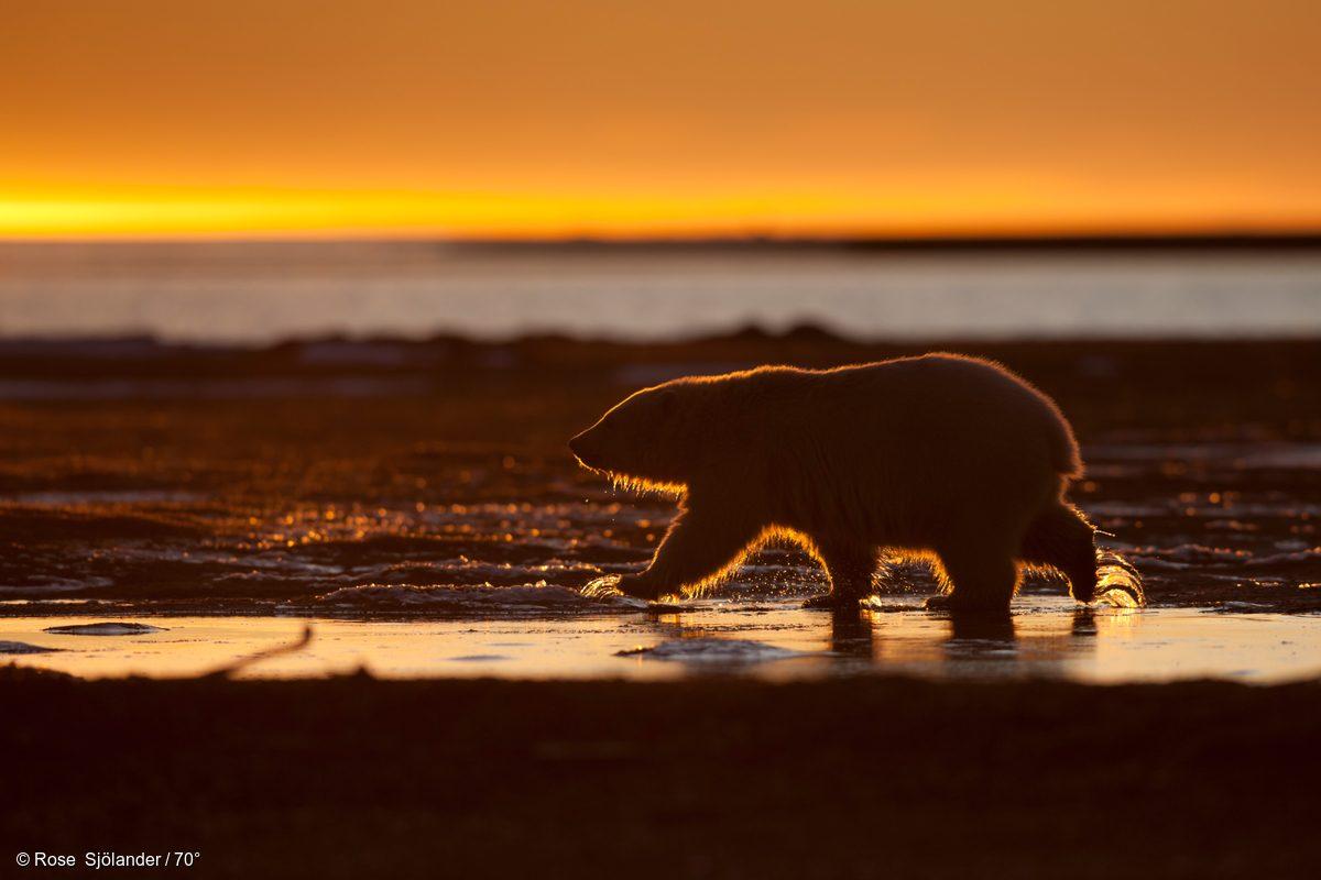 Una madre oso polar y sus dos crías cruzan las islas de Kaktovik
