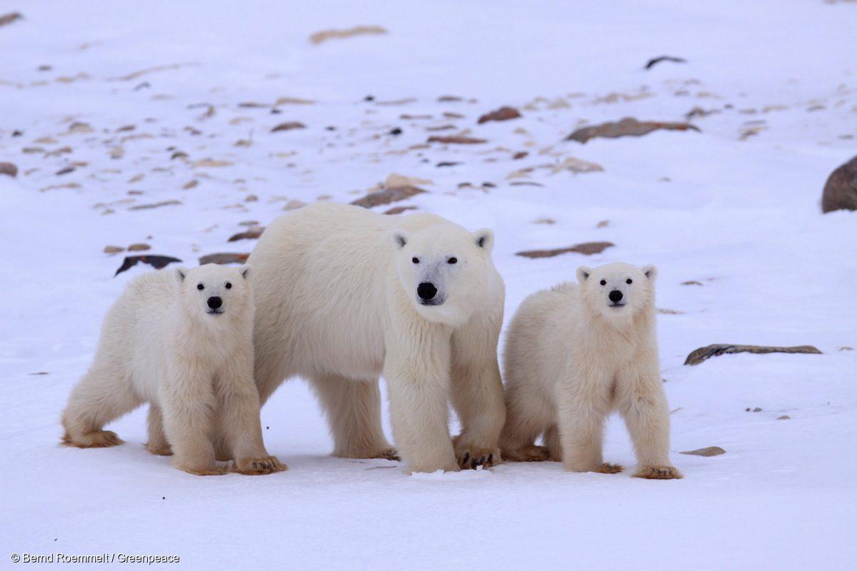 Tres osos polares sobre el hielo en la Bahía de Hudson en 2008.