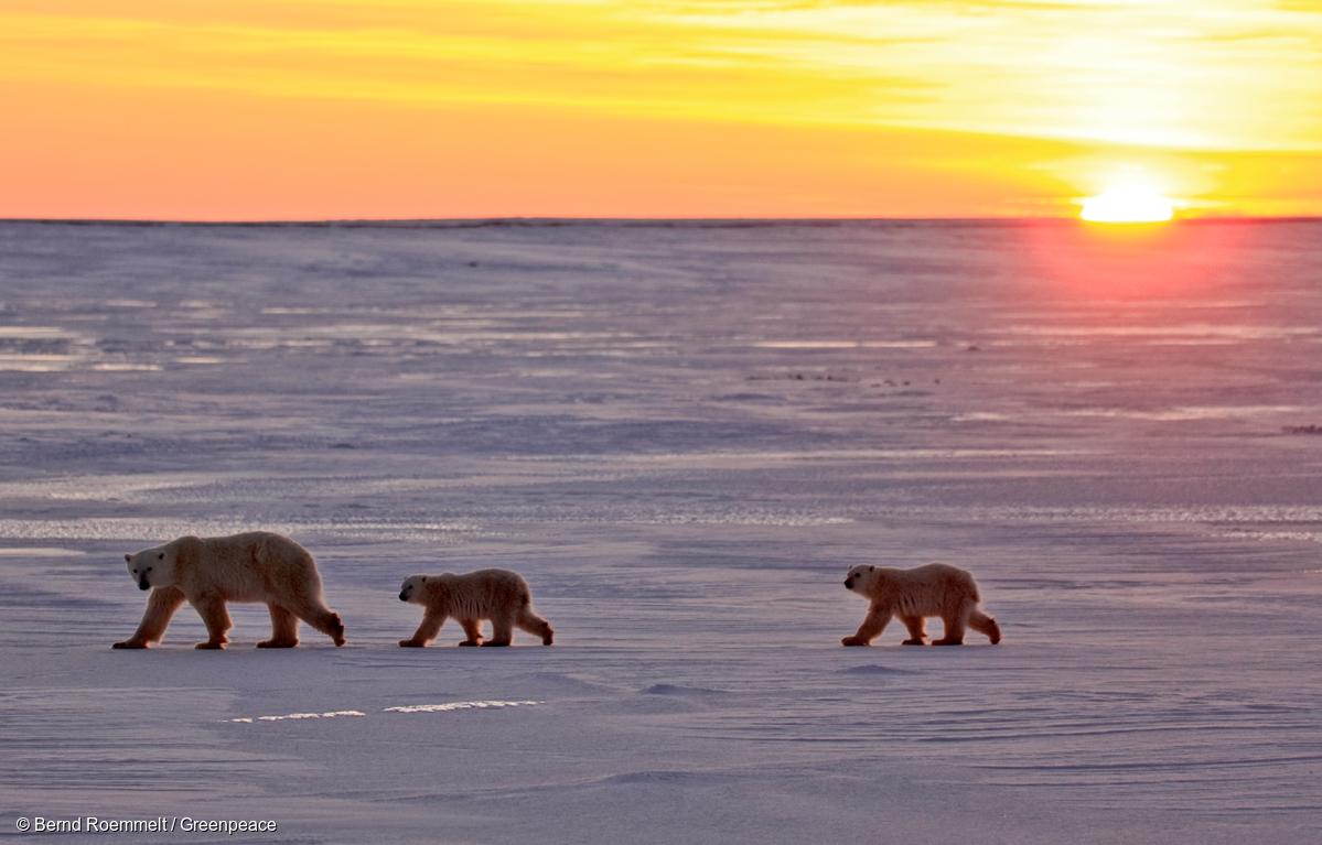 Osos polares vagan sobre la nieve. Cabo Churchill, Bahía de Hudson, Canadá en 2008.