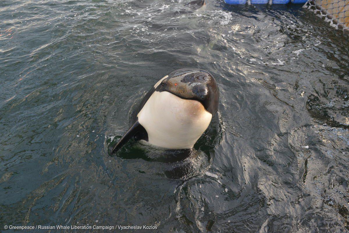 Orca cárcel cetáceos Rusia