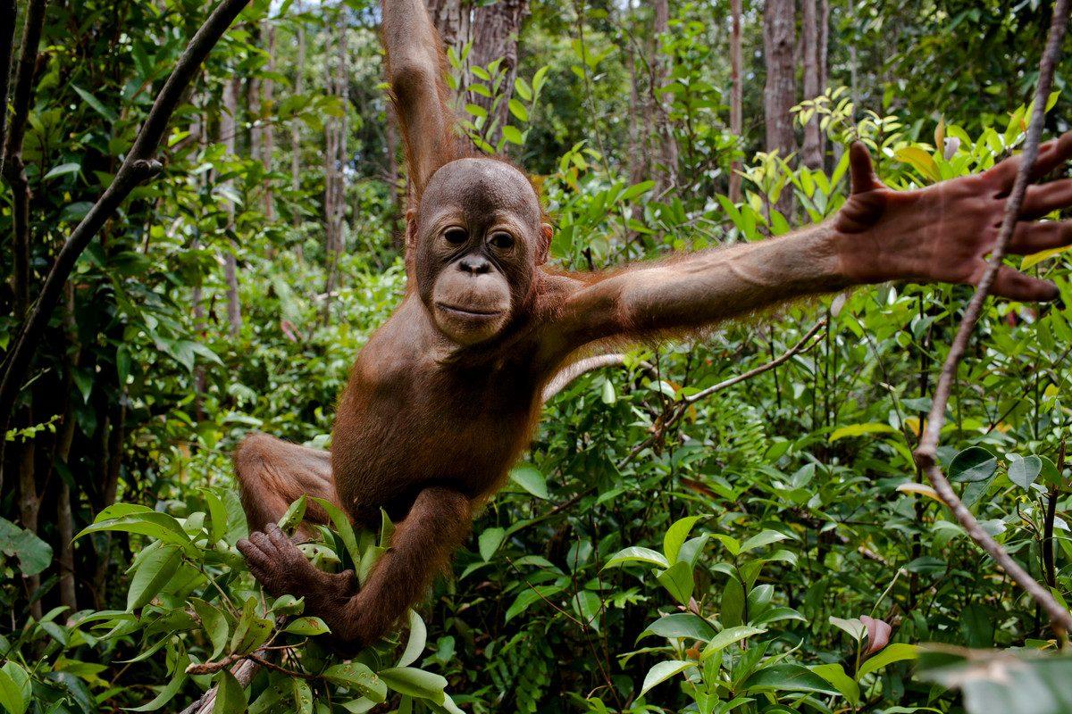 Orangután en Indonesia.