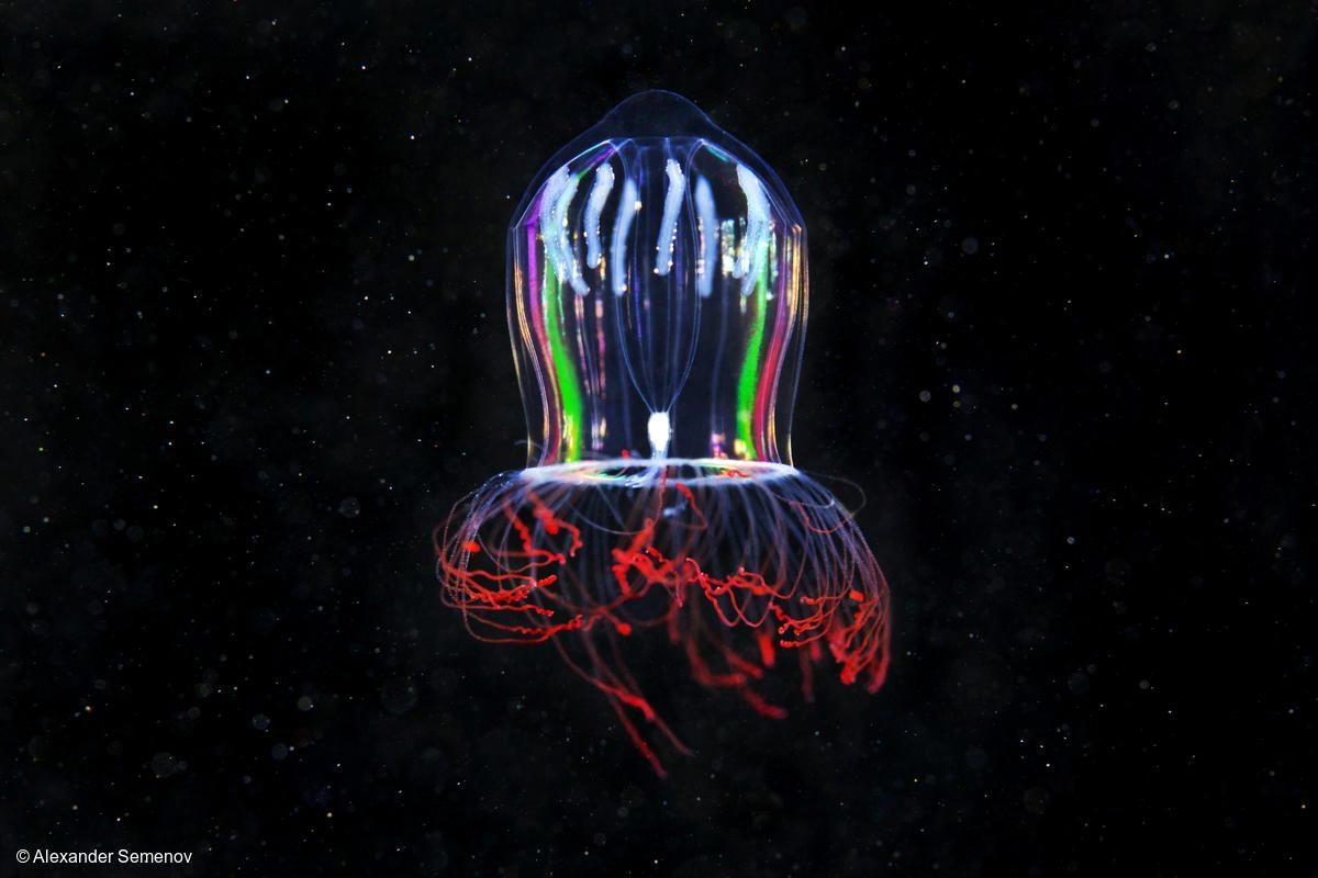 Medusa hidrozoa