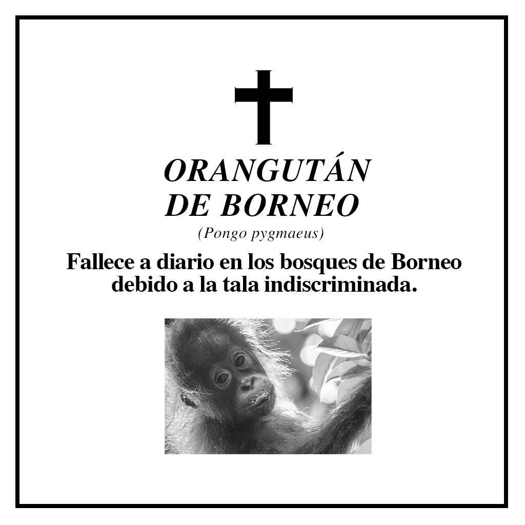 #RIPBiodiversidad orangután