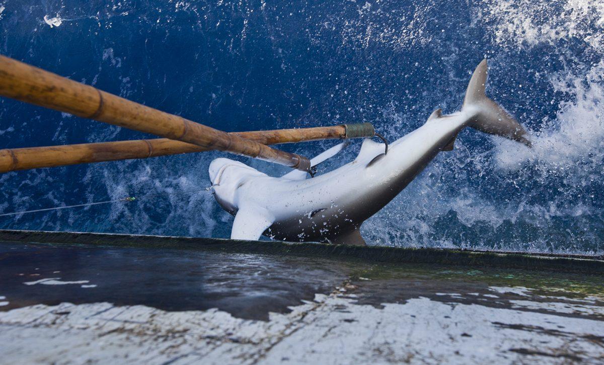 Caza tiburones