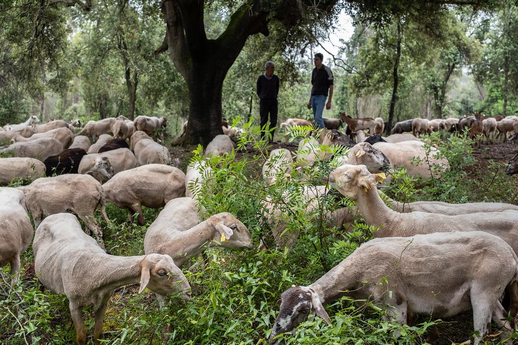 Ganadería extensiva de ovino-caprina en Centenys, Girona