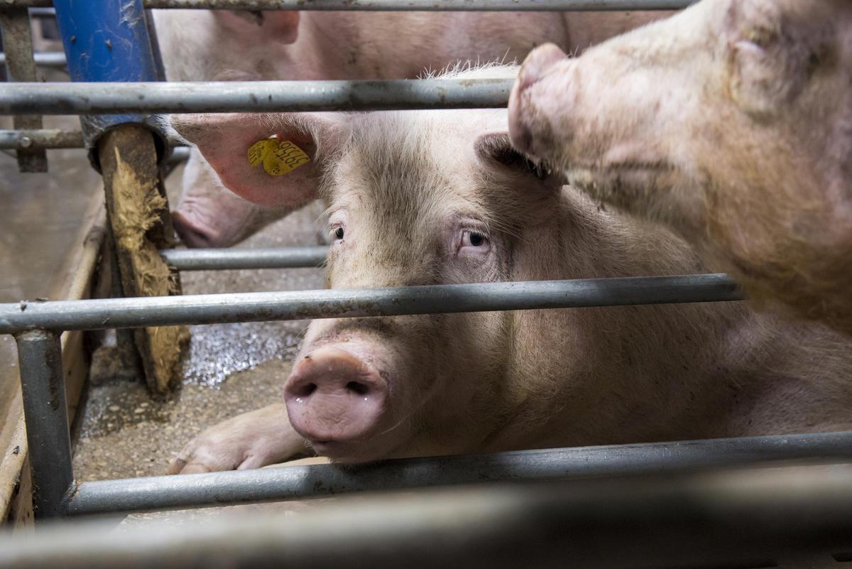 Macrogranja de cerdos en Alemania.