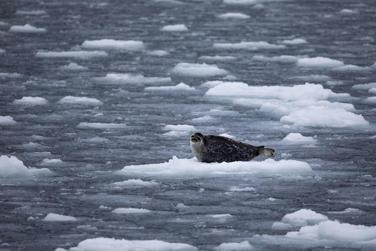 Foca ocelada en el Ártico