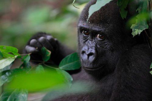 Fauna en Camerún