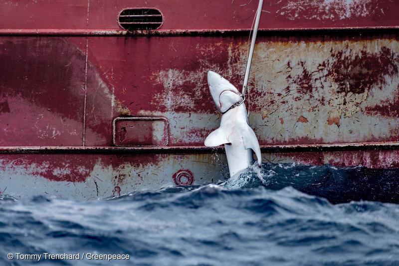 Tiburón capturado por un barco español en el Atlántico en una imagen de 2019.