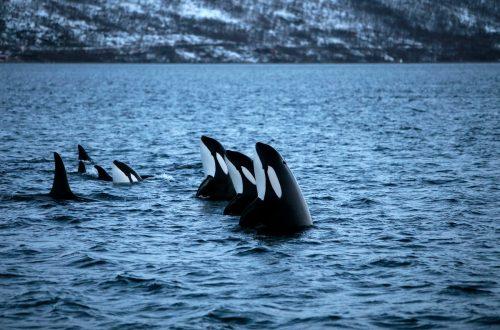 Una manada de orcas nada en Kvaloya Sound, cerca de la ciudad ártica de Tromso.