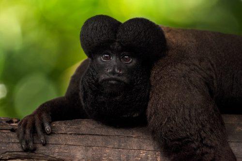 Sakí barbudo negro en el Amazonas