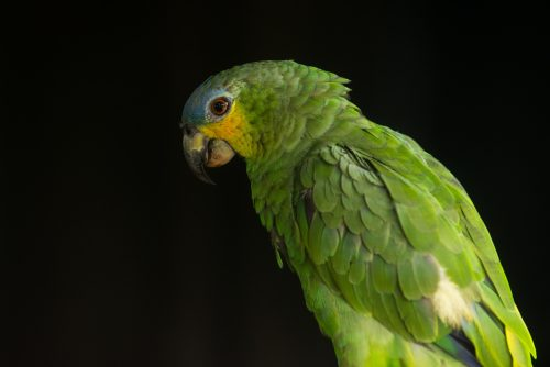 Amazona frentiazul en el Amazonas