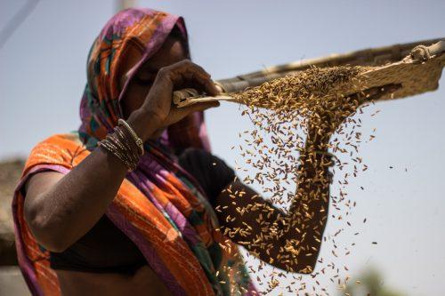 Agricultora aventando trigo en la India