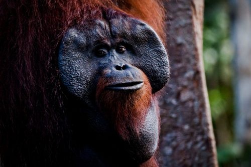 Orangután en la zona de alimentación en el Parque Nacional de Tanjung Puting, Indonesia