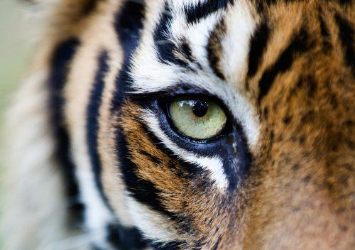 Primer plano de un tigre de Sumatra
