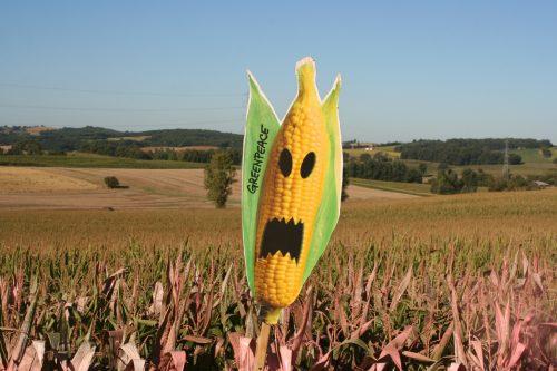 Campo de maíz transgénico señalado por activistas de Greenpeace.