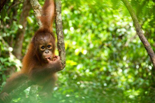 Bebé orangután de un año de edad juega en un árbol en Borneo