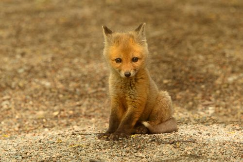 Cría de zorro rojo en el bosque boreal canadiense