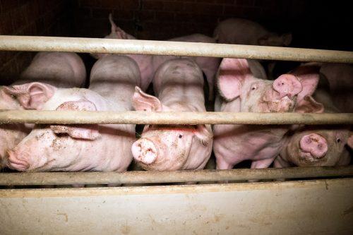 Cerdos rodeados de tierra y excrementos en una macrogranja de Alemania