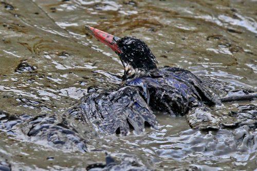 Un pájaro afectado por el vertido de petróleo en el bosque de manglares de Sundarbans, Bangladesh
