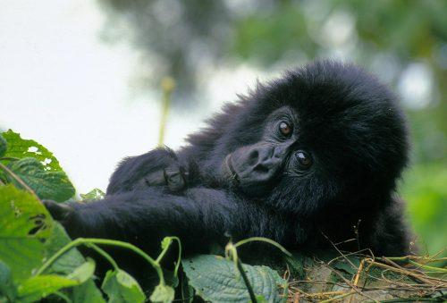 Bebé de gorila de montaña (de aproximadamente un año) en el Parque Nacional Virunga, en el Congo