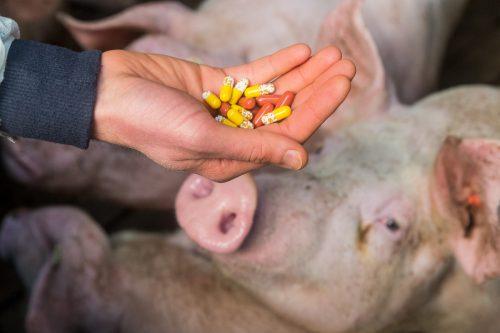 Una mano muestra píldoras frente a los cerdos de una granja para simbolizar el problema de los antibióticos que se les administran durante el engorde